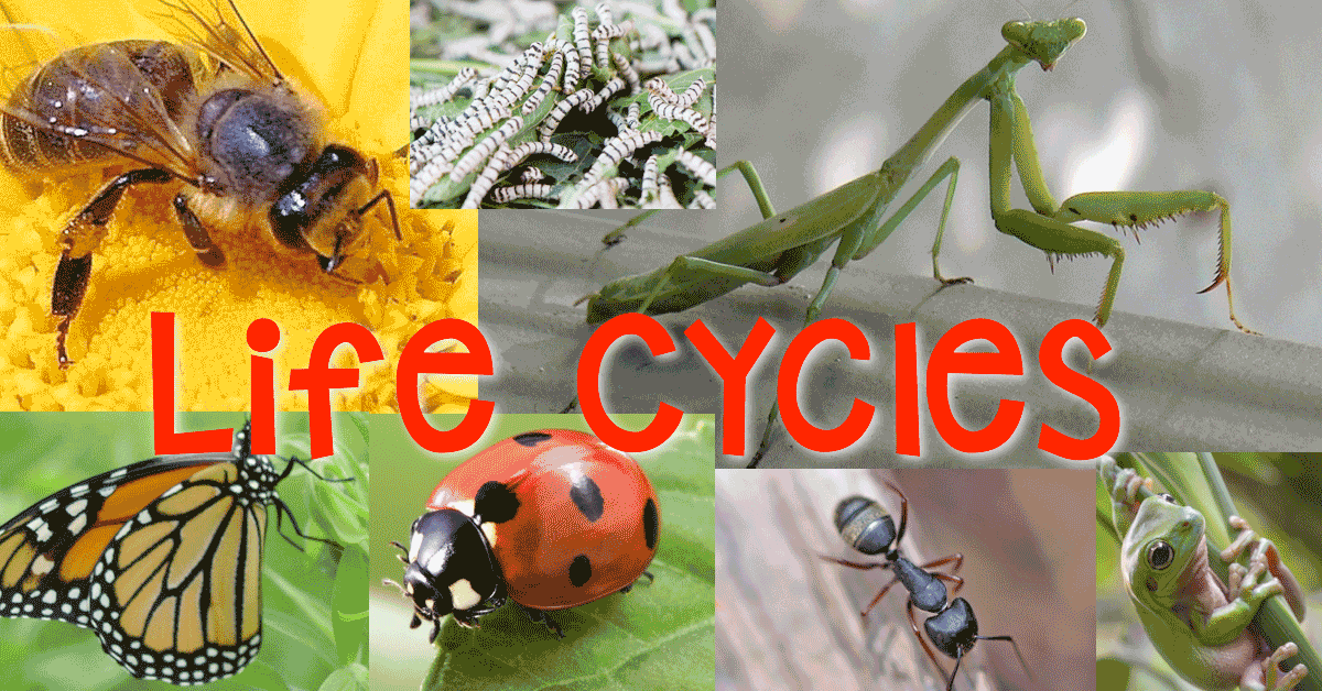 Life Cycles Metamorphosis Science Stations Articles Graphic