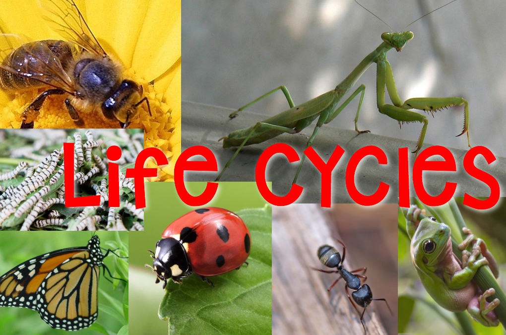 Life Cycles Amp Metamorphosis Science Stations Articles
